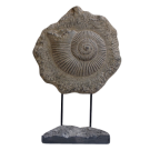 Fossilised Shell on Stand
